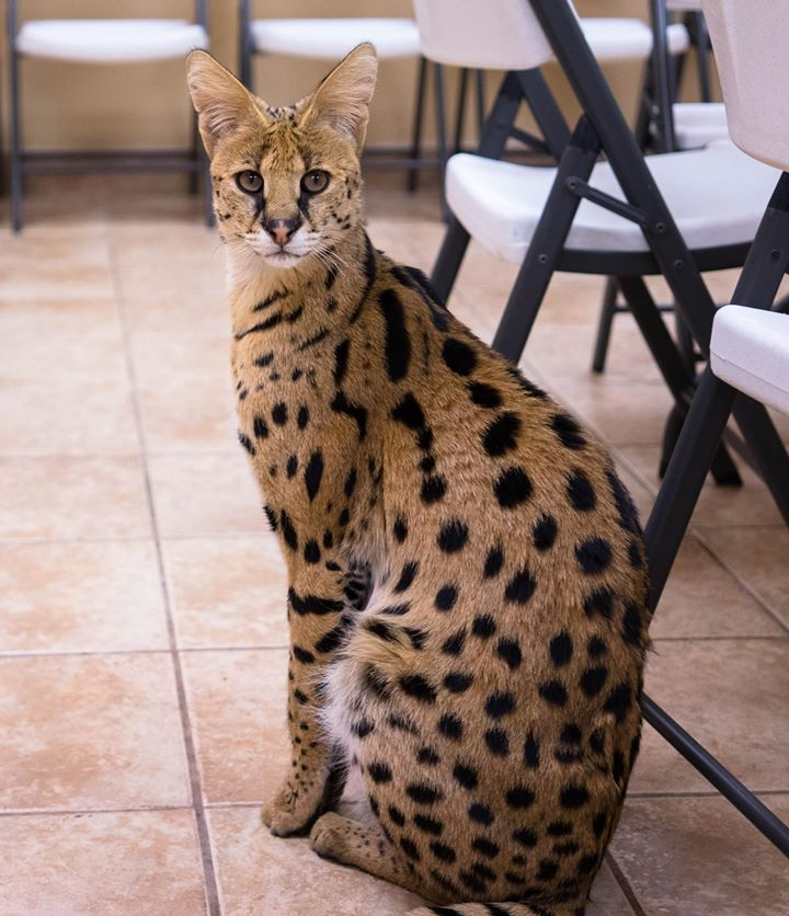 Cheetah Hybrid Cats For Sale